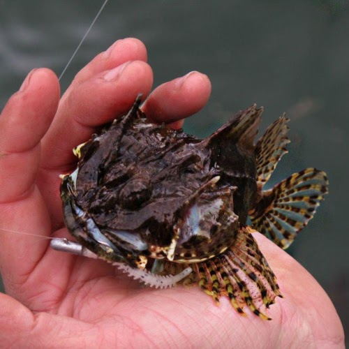 long spined sea scorpion