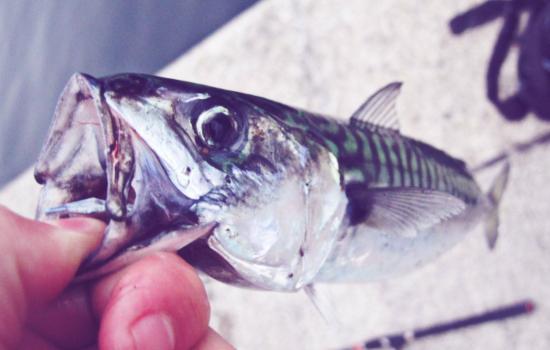 mackerel fishing fun